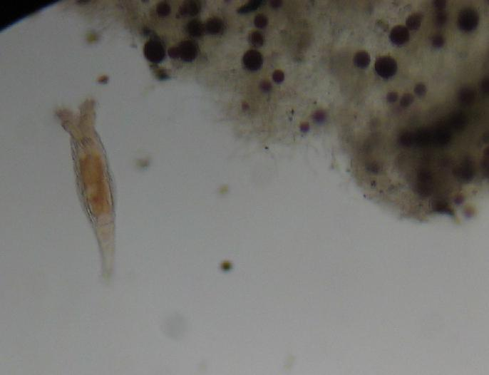 Algae Film with Haematococcus Spores